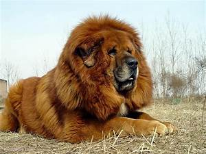 Tibetan Mastiff Attack Dog | www.pixshark.com - Images ...