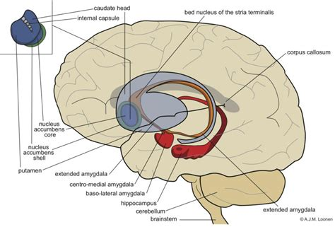 Bed Nucleus Of The Stria Terminalis by Circuits Regulating Pleasure And Happiness A Focus On