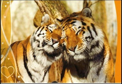 Best Tigers Images Pinterest Big Cats Animal