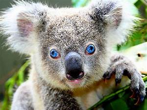 About Us and Our Cute Australian Koala   Smiling Bear®