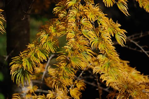stunning fall color  golden larch  grows