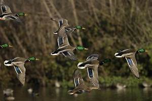 Arkansas Duck Hunting Guide Services  Why Hunt Ducks In