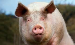 frankenswine pigs genetically modified   smell