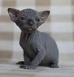 blue sphynx cat sphynx kitten blue bournemouth dorset pets4homes