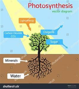Photosynthesis Diagram Schematic Vector Illustration Stock