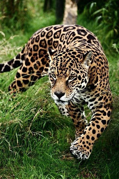 coolest jaguar cat best 25 black jaguar ideas on black jaguar
