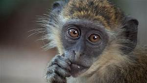 What Is The Lifespan Of A Monkey