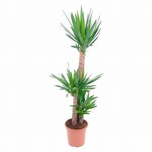 Palmen Kaufen Baumarkt : palmen palmenartige pflanzen online kaufen bei obi ~ Orissabook.com Haus und Dekorationen