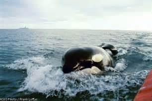 Free Willy Whale Keiko Orca