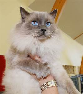 Ragdoll Cute Cats | Cute Cats  Cute