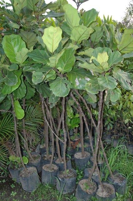 jual pohon biola cantik ficus lyrataficus pandurata
