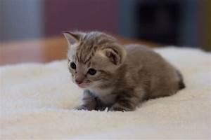 Pedigree TICA Reg Snow Bengal kittens | Watford ...