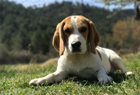 do beagles shed do beagles shed canna pet 174