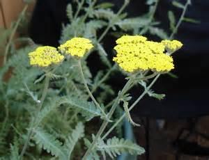 Yellow Yarrow Plant