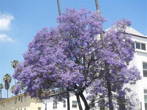 california tree with purple flowers the color purple spring time in carlsbad and southern california