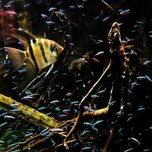 Angel fish and neon tetras Picture of Shedd Aquarium