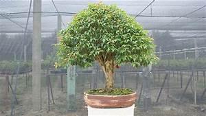 Bonsai Pflege Für Anfänger : kalthaus bonsai subtropische bonsais richtig durch den winter bringen ~ Frokenaadalensverden.com Haus und Dekorationen