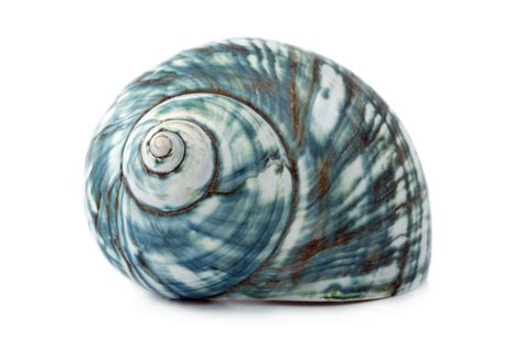Blue Sea Shell Free Stock Photo  Public Domain Pictures