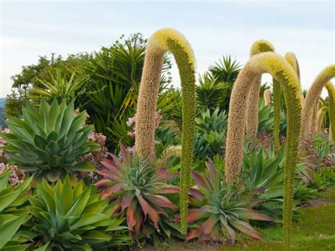 care for agave plant how to grow and care for a fox tail agave agave attenuata world of succulents