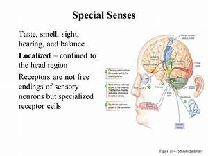 Sensory Systems Vision Hearing Taste Smell Equilibrium ...
