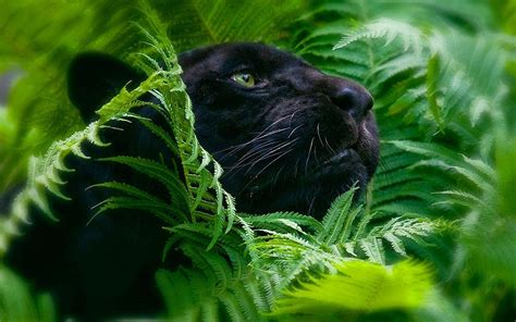 Panther Animal Wallpaper - black panther hd wallpaper and background 1920x1200