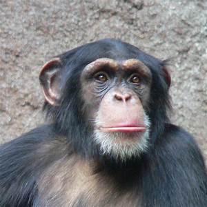 Endangered Species: Chimpanzee