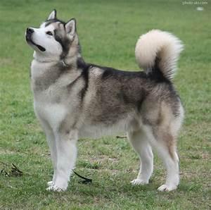 سگ سیبرین هاسکی pomeranian husky dog
