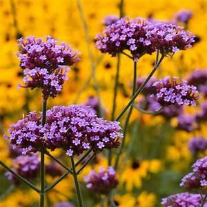 Plantes Et Jardin : verveine de buenos aires plantes et jardins ~ Melissatoandfro.com Idées de Décoration