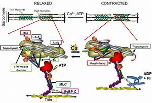 Tm Functions To Regulate Muscle Contraction  Sarcomere Is