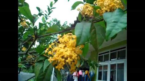tanaman bunga asoka kuning youtube
