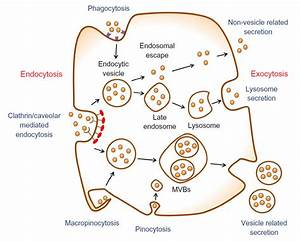 Schematic Of Endocytosis And Exocytosis Patterns Of