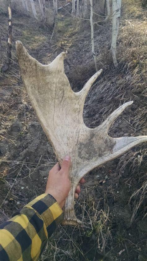 moose shed antler forums 2016 shed antler contest your pics