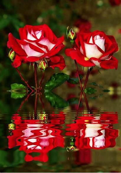 Flower Flowers Gul Anime Roses Lowgif Ve