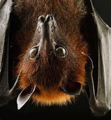 volpe volante world natura la volpe volante pipistrello gigante