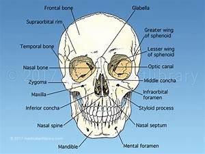 Skull Anatomy - Medical Art Library
