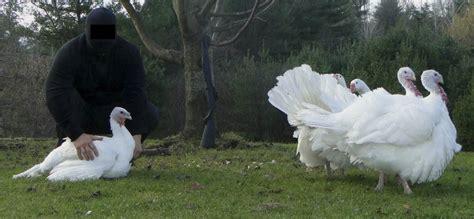 animal rights militia liberates turkeys  geese