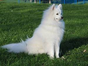 Miniature American Eskimo Dog Pictures