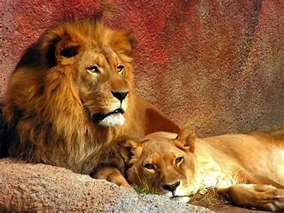 Lion Wallpapers Nature Lions Desktop 3d Leo