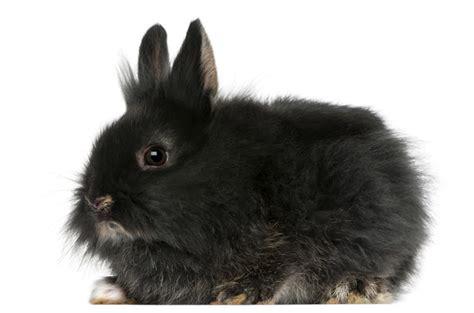 lionhead rabbit colors lionhead rabbit