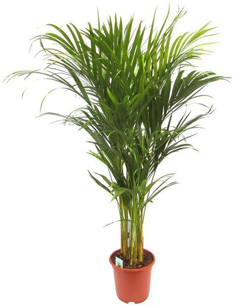 Zimmerpflanze Hoch by Dominik Zimmerpflanze 187 Goldfruchtpalme 171 H 246 He 90 Cm 1