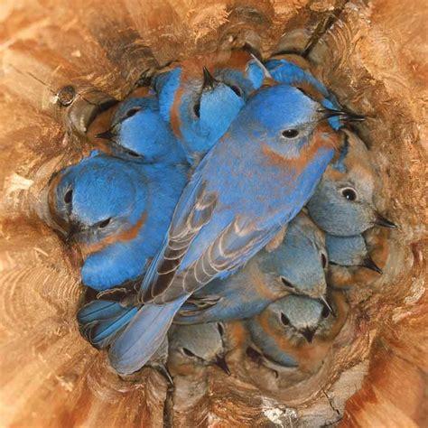 bluebirds roosting at night soul food pinterest bird