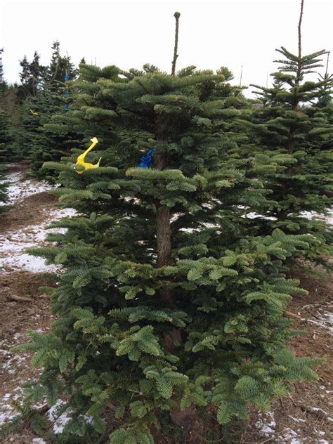 kc s christmas tree farm 98520 aberdeen 950 state route 105
