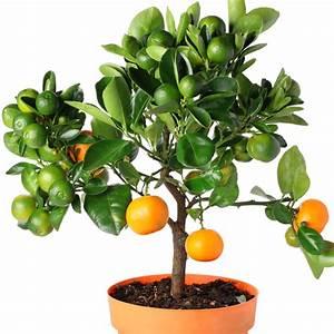 Arbres Fruitiers Nains En Pleine Terre : pot pour arbre fruitier 20170527082636 ~ Premium-room.com Idées de Décoration