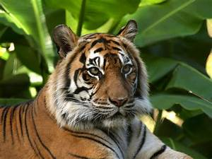 Animal Free Wallpapers: Animal Tiger Free Wallpapers  Animal