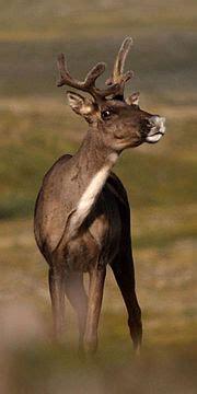 caribou  world encyclopedia