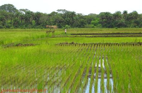 Le risaie della Guinea Bissau per debellare la schiavitù ...