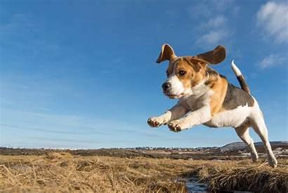 Jumping Stop Dog Training Beagle Train