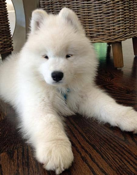 Samoyed How Is This Fluff Ball Hypoallergenic Aminals