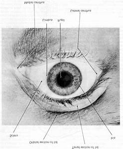 Front View Of The Eyelids  Pupil  And Other Visible Parts