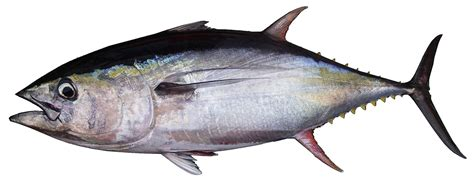 tuna fish yellowfin bluefin nutrition calories